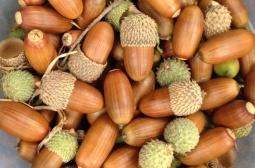 Gallipoli Oak acorns