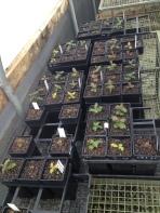 Gallipoli Oak seedlings at Burnley Gardens