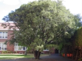 Oldest Gallipoli Oak at Geelong Grammar