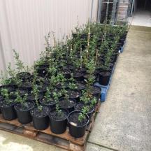 Pots at Garden Express ready to go