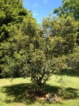 Gallipoli Oak at the Shrine of Remembrance, Melbourne