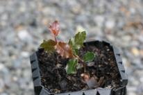 Gallipoli Oak seedling