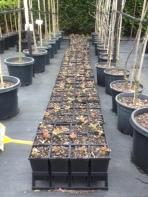 Gallipoli Oak seedlings being propagated by Nationwide Trees