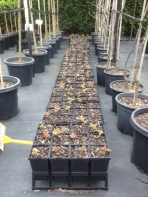 Gallipoli Oak seedlings being propagated by Nationwide Trees